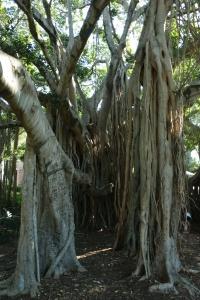 Ein beeindruckender Feigenbaum mit Luftwurzeln im City-Park von Brisbane.
