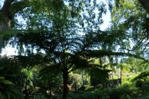 Dies ist ein Baumfarn, welcher im St.Roma park in Brisbane wächst.Dies ist ein Baumfarn, welcher im St.Roma park in Brisbane wächst.