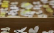 Ein Einblick in die Vielfalt der Schmetterlinge, wobei hier sind einige Kohlweißlinge zu sehen sind. Diese kommen auch auf der nördlichen Hemisphäre vor.